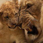מלך האריות החדש